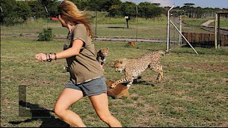 Getting Chased By Cheetahs