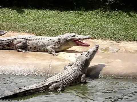 crocodile fight - YouTube