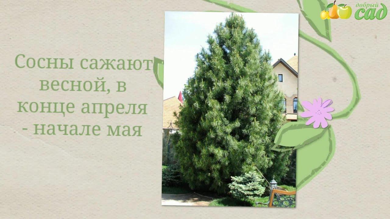 Свой домик в деревне. Как посадить ель или сосну на участке 36