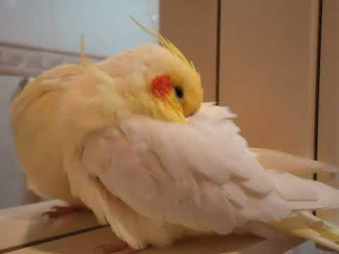 Calopsita FALA e CANTA - só vendo para acreditar !!!! (Cockatiel that talks and sings) (ORIGINAL) Music Videos