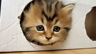 Cute Kittens playing a Box ( homemade free toy )