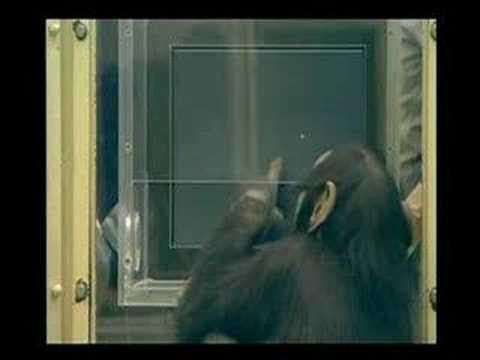 Que tan Inteligente puede ser un Chimpance