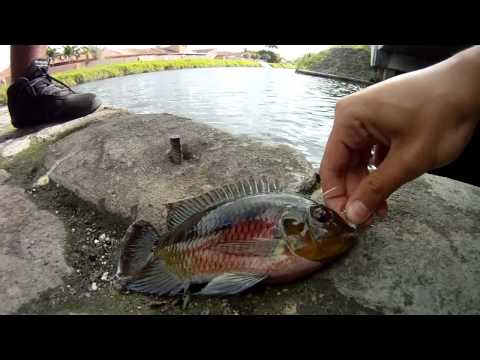 Fishing Exotic South Florida Fish Miami Canal