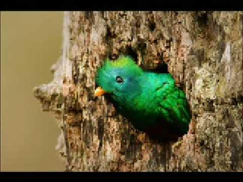 El quetzal ave nacional - Guatemala C.A. GT