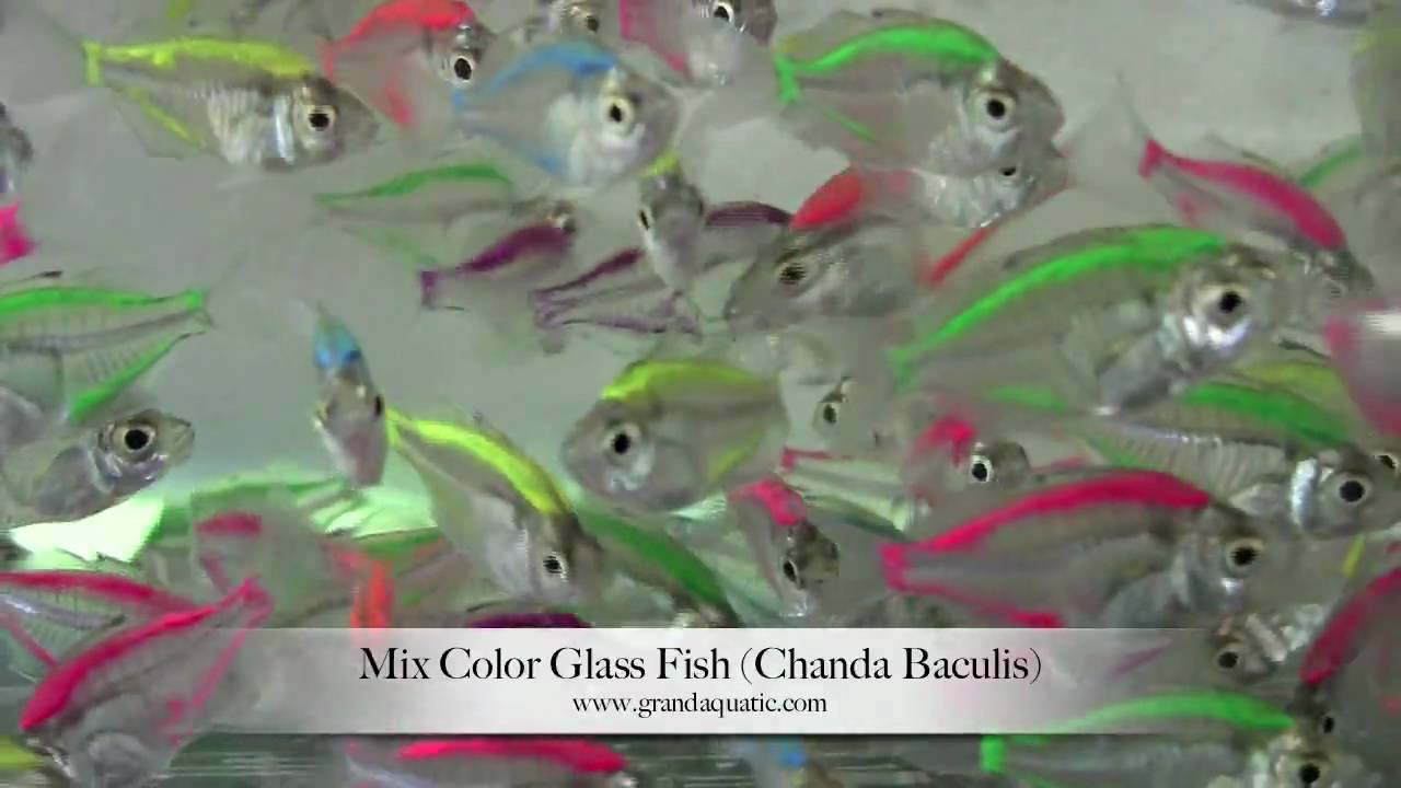 Colorful Fish Painting Glass Fish Mix Color Chanda