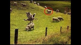 FUNNY Dogs and Sheep Playing Together | Funny Animals Videos Compilation