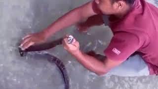 Cari belut dapat ular besar