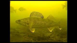 underwater walleye strikes