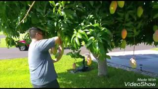 Hmong FL mango picking 7/22/16