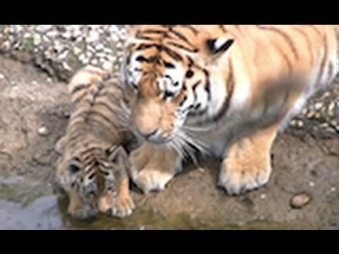 Zoo Leipzig - die Tiger Babys - cute Tiger Cubs