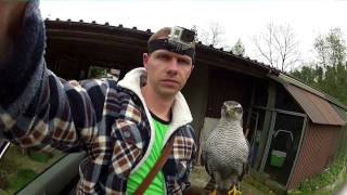 Goshawk vs Crows 8