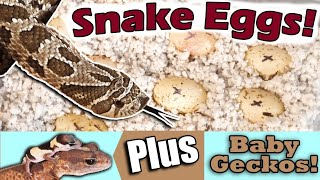 How to Prep Hognose Snake Eggs for Incubation
