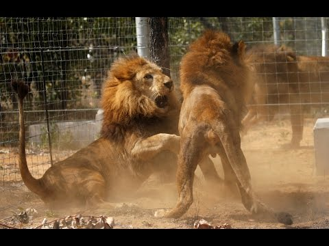 La nueva vida de los 33 leones maltratados en circos de Colombia y Perú