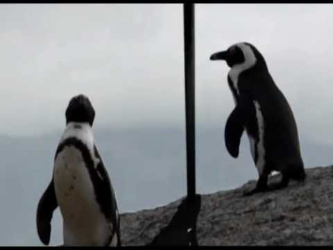 BirdLife South Africa - African Penguin
