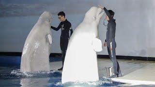 Von China nach Island: Beluga-Wale aus China finden neue Heimat in Island