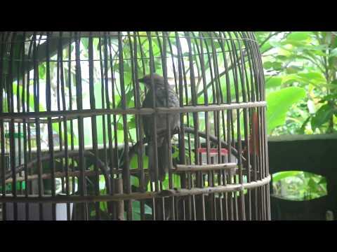 นกกรงแม่ทะจากรัฐตรังกานูมาเลเซีย