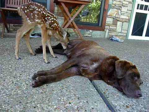 Orphan Deer Raised And Nursed By Chocolate Lab Youtube