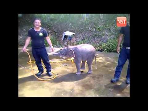 Sole survivor of Sabah elephant massacre