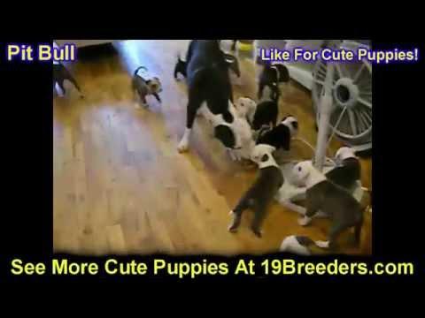 Pitbull, Puppies, Dogs, For Sale, In Albuquerque, New Mexico, NM, 19Breeders, Rio Rancho
