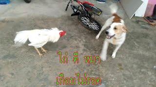 จ้าวไม้(หมา) VS ไอ้บุญรอด(ไก่)