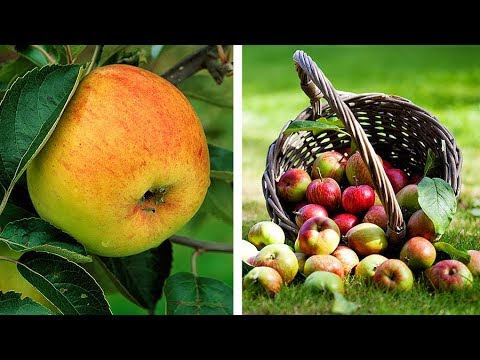 How to grow Apple fruit trees: Jeff's video guide to planting Apple trees