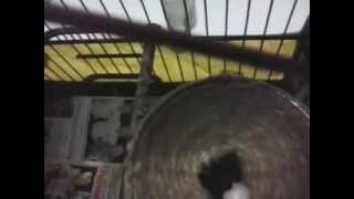 Minha fémea de azulão com os dois filhotes 28-01-2013