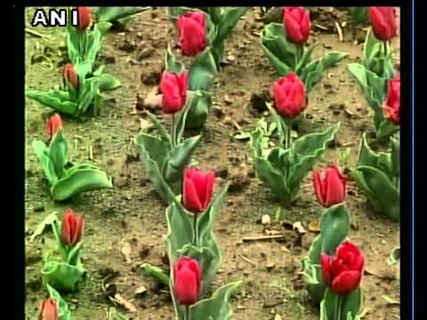 Asia's largest Tulip garden in Srinagar thrown open for visitors - Whatsapp Viral Videos