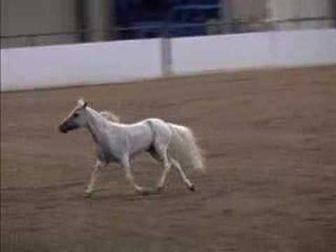 Miniature Horse show event – Liberty
