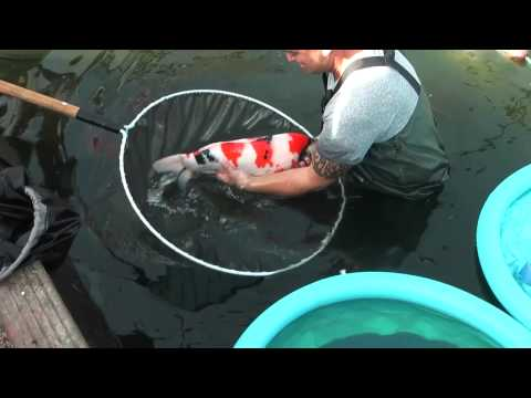 Richdon Koi 2013 100,000 Gallon Pond Harvest