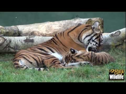 WHF Sumatran Tiger Cubs - Toba & Kubu part 3