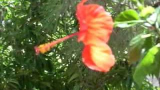 Cayenas en Cefalonia.wmv