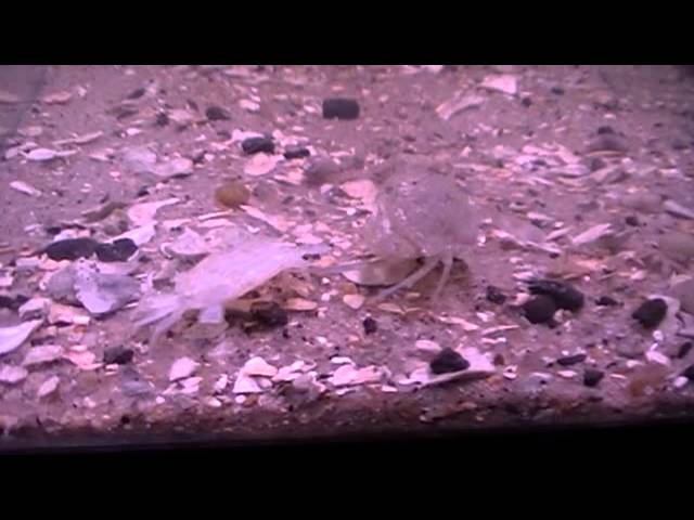 Young blue crab molt VID-BIT.wmv
