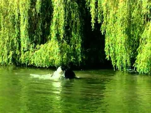 Vidéos Husky sibérien, chiens de race Husky sibérien en