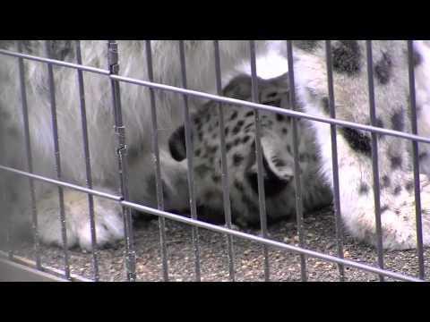 ユキヒョウの赤ちゃん外で授乳~Snow Leopard's Baby