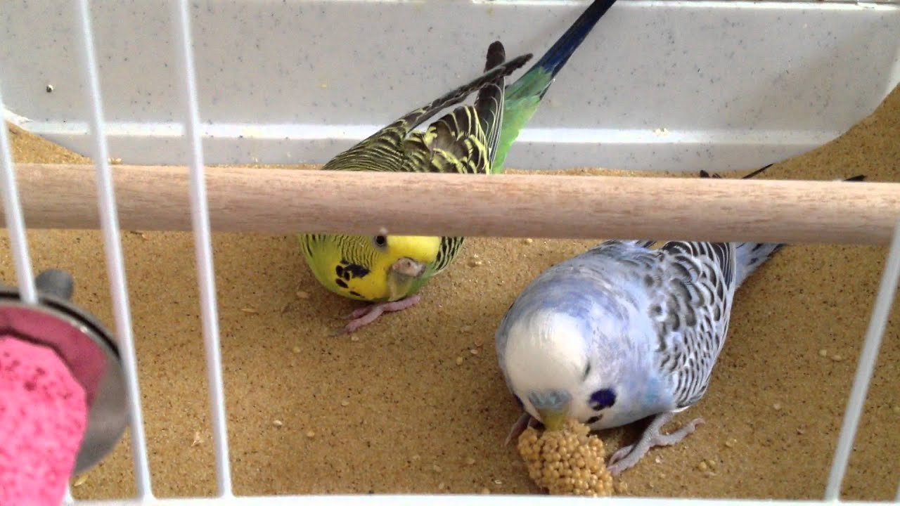 how to stop budgies from fighting