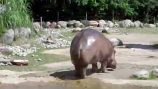 Le plus gros pet du monde - L'hippopotame