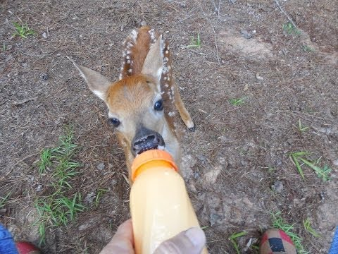 Rescued Little BABY Deer on our property