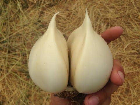 Выращивание многолетнего чеснока 50