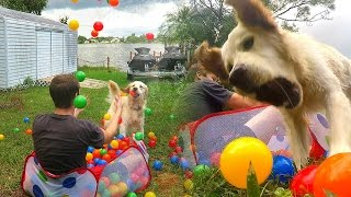 Golden Retriever Puppy and 300 Ball Pit Balls! (Super Cooper Sunday #38)