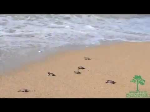 Medio Ambiente revela  registro de 1,317  nacimientos de tortugas en RD