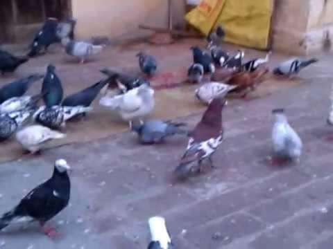 Guldar multani Shirazi kabootar of delhi, bhai (Baiju) part-1