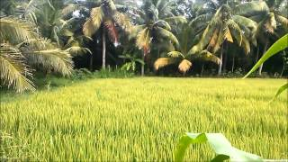 Cánh đồng lúa | Ruộng ngô by mrnguyen2901