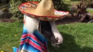 Einstein the Smallest Stallion Celebrates Cinqo De Mayo