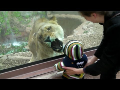 Our 1 year old son Trent has the attention of Angie, a 400 pound lioness at the Cheyenne Mountain Zoo. Original Video. Check out our newest videos from the z...