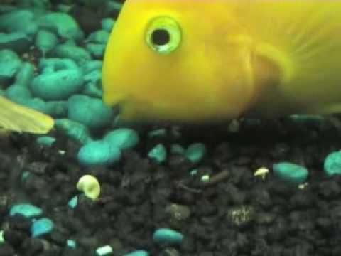 Cichlid Fish Eggs of Parrot Fish Cichlids a