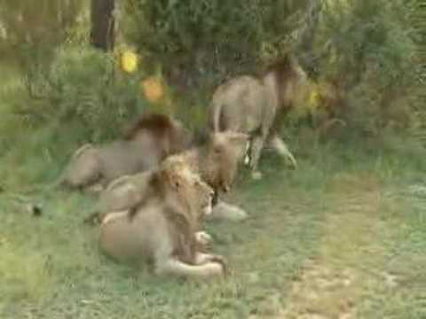 Five Lions Roaring Together...at Savanna Lodge video