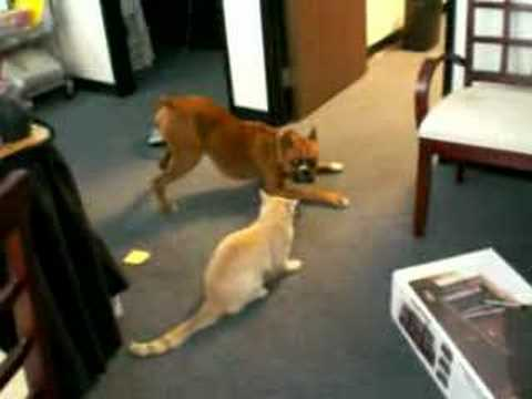 boxer dog plays with cat youtube. Black Bedroom Furniture Sets. Home Design Ideas