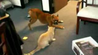 Boxer Dog Plays with Cat