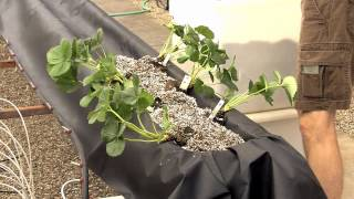 Video 2. Arizona Gutter System for Greenhouse Strawberry Production