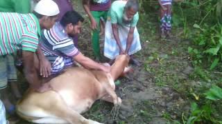 কুরবানির গরু জবাই - ২০১৬